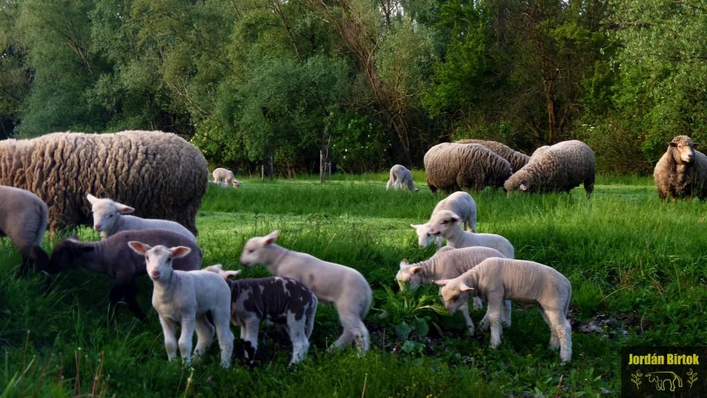 Bárányovi