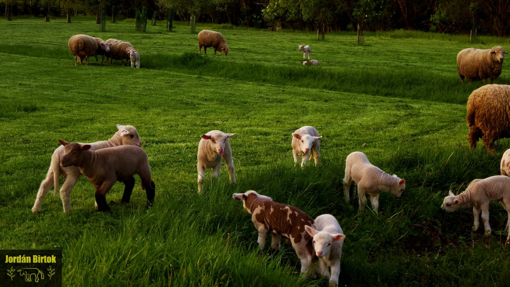 Tarka bárányok