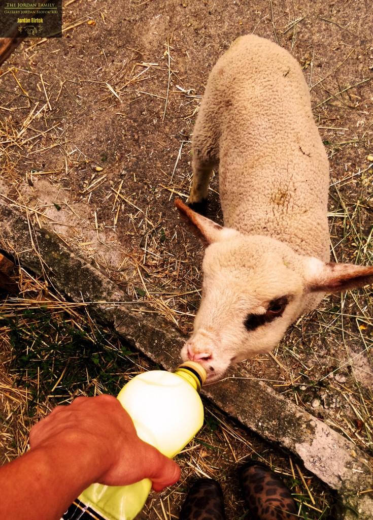 Báránynevelés