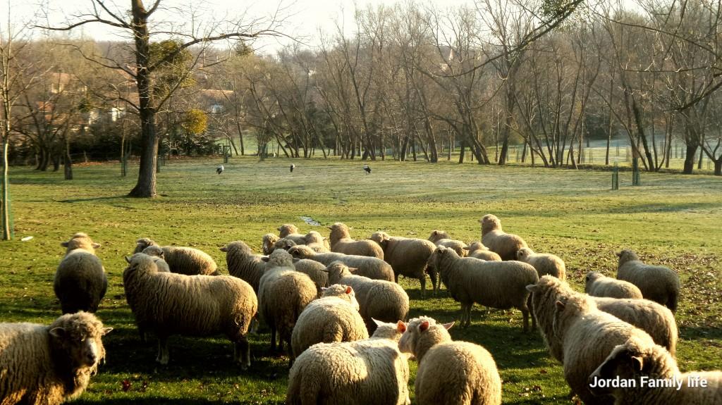 Storks & Sheep